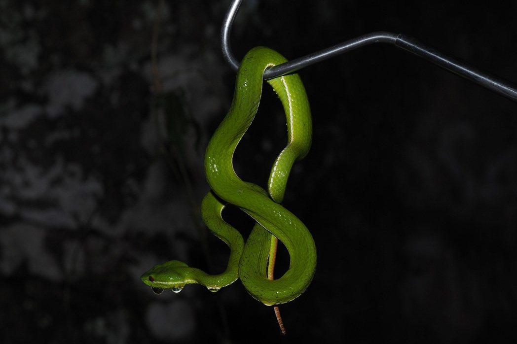 以蛇鉤捕捉赤尾青竹絲。圖/新北市動保局提供