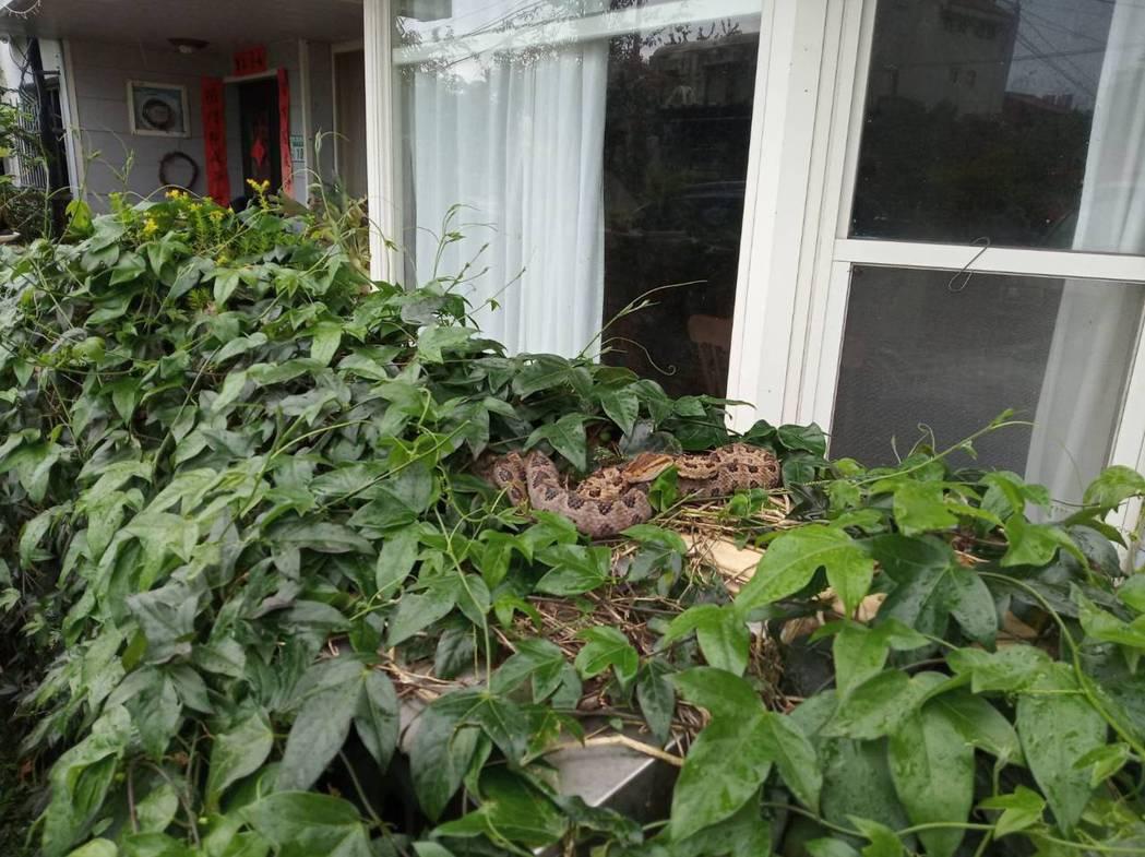 草木中經常藏有蛇類,圖為龜殼花。圖/新北市動保局提供