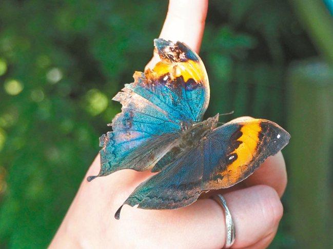 飛牛牧場的蝶群不怕生。 記者羅建怡/攝影