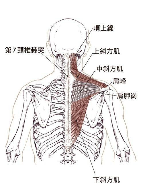 肩頸痠痛對應肌肉圖。 圖/蘋果屋出版社提供