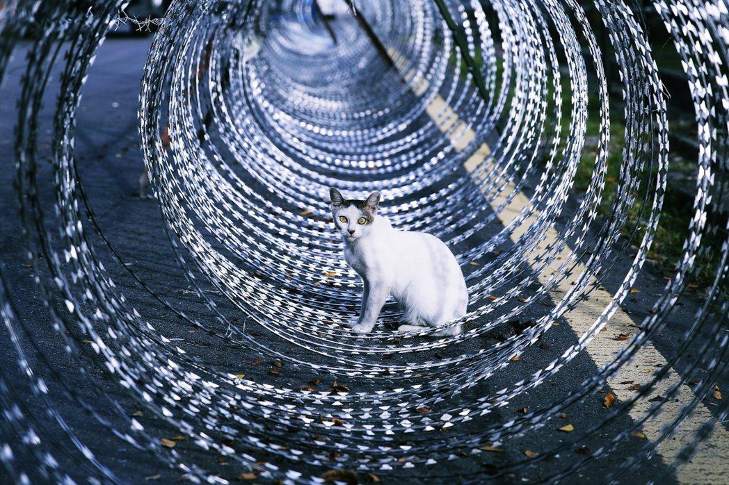 馬來西亞首都吉隆坡的「社區防疫封鎖」,一隻街貓正鑽入封區用的蛇籠。 圖/法新社