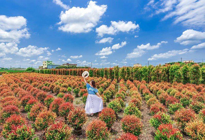 緋紅色的波波草,吸引網友推薦拍攝。 圖/IG網友molly莫莉授權