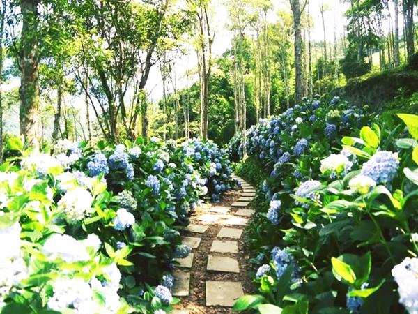 台東太麻里金針山繡球花季即將在6月登場。 圖/羅紹平 攝影