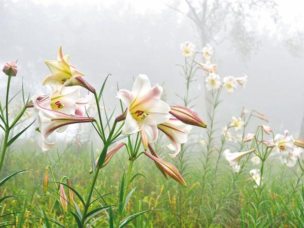 目前正值太麻里金針山野生台灣百合花季。 圖/羅紹平 攝影