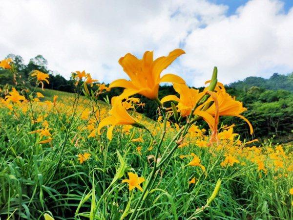 台東知本溫泉區內的天山農場種了3.7公傾金針目前盛開中。 圖/羅紹平 攝影