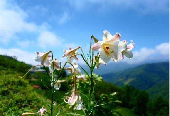 太麻里金針山谷間的台灣野百合。 圖/太麻里鄉公所提供
