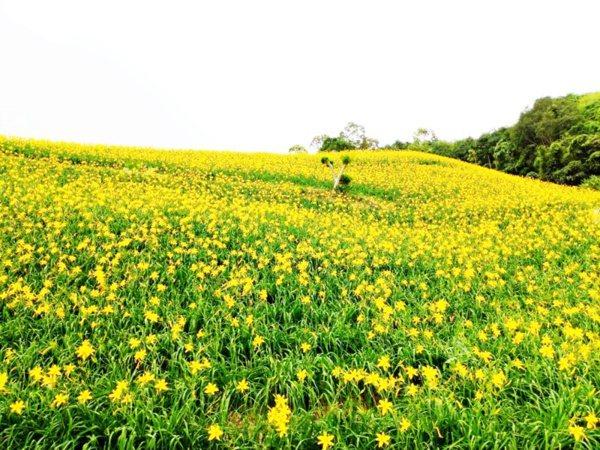太麻里金針山金針花季將於今年8月至10月登場。 本報資料照片