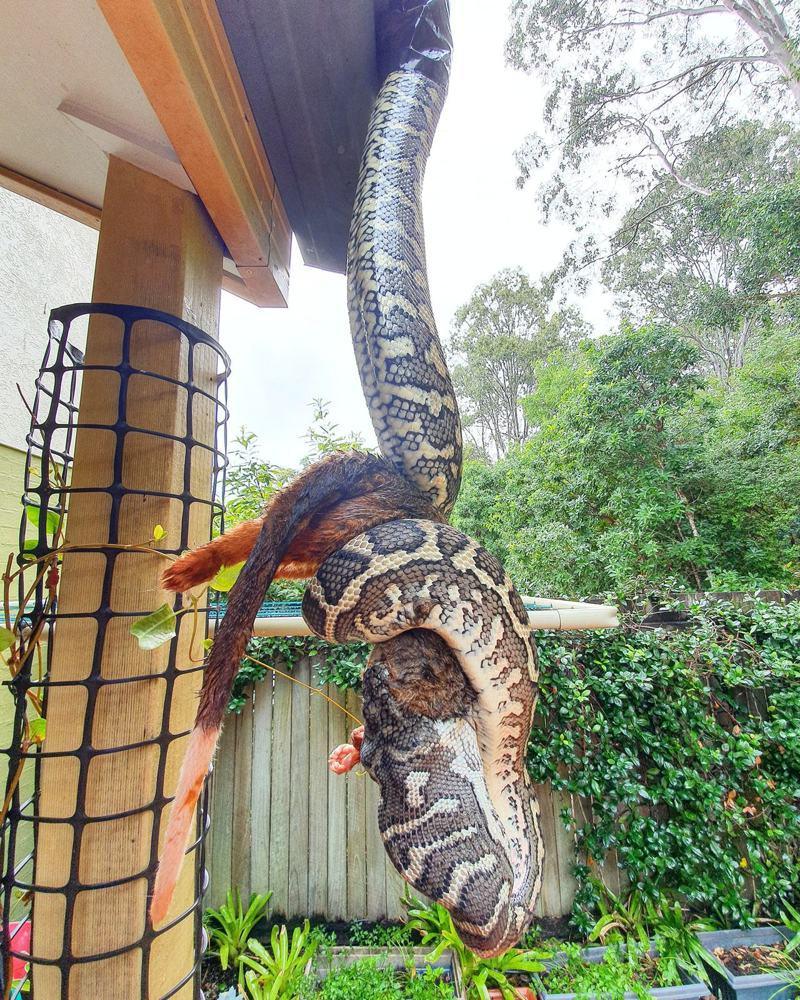 一隻地氈蟒正在吞食袋貂。圖/Facebook