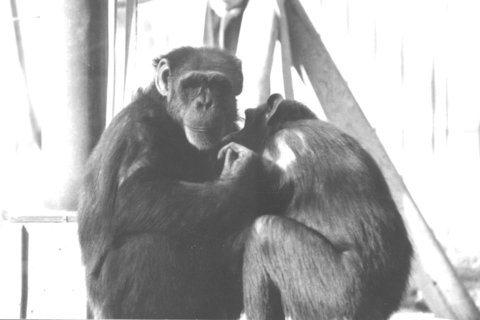 會手語的黑猩猩華秀:以牠為鏡,看對動物的情感與責任