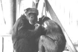 蕭人瑄/會手語的黑猩猩華秀(下):以牠為鏡,看對動物的情感與責任