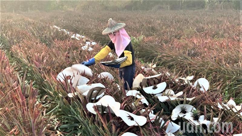 台南市農民紓困金一萬元,首波已有11萬7千多人直接入帳。記者吳淑玲/攝影