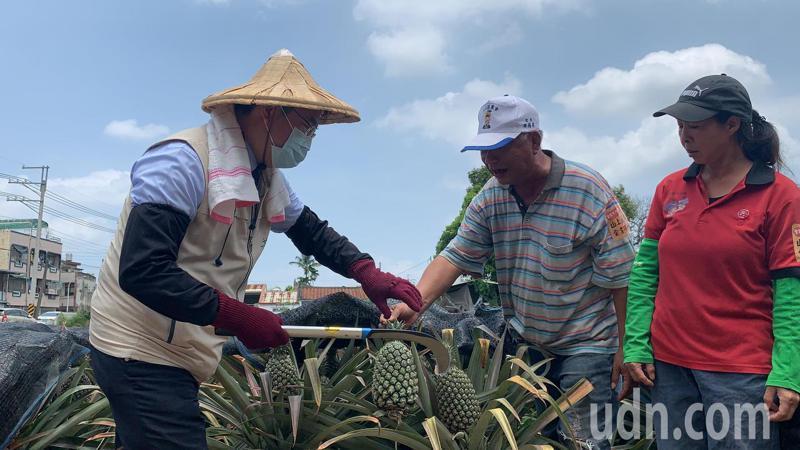 台南市長黃偉哲今天感謝企業認購山上區甜蜜蜜鳳梨,也到田裡體驗採收鳳梨。記者吳淑玲/攝影