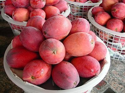 芒果富含膳食纖維,營養價值甚高。圖片提供/台灣好食材
