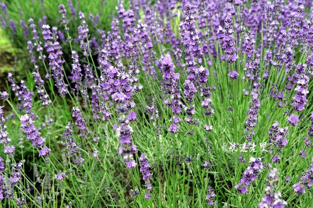美到了極致的薰衣草,令我一時瞠目結舌、神思渙散、甚至空白, 一時之間,無從說起眼前的景緻,湖畔的紫藍色花海迎風浮動, 彌散在空氣中淡淡的花香,讓人心曠神怡。