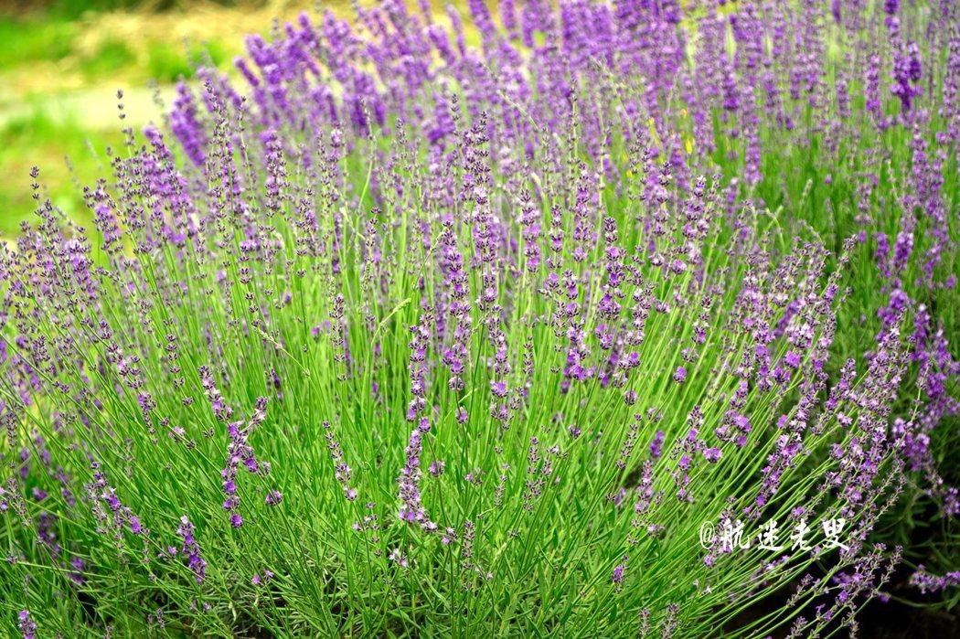 每當花開風吹起時,一整片的薰衣草田, 宛如深紫色的波浪層層疊疊地上下起伏著,甚是美麗。