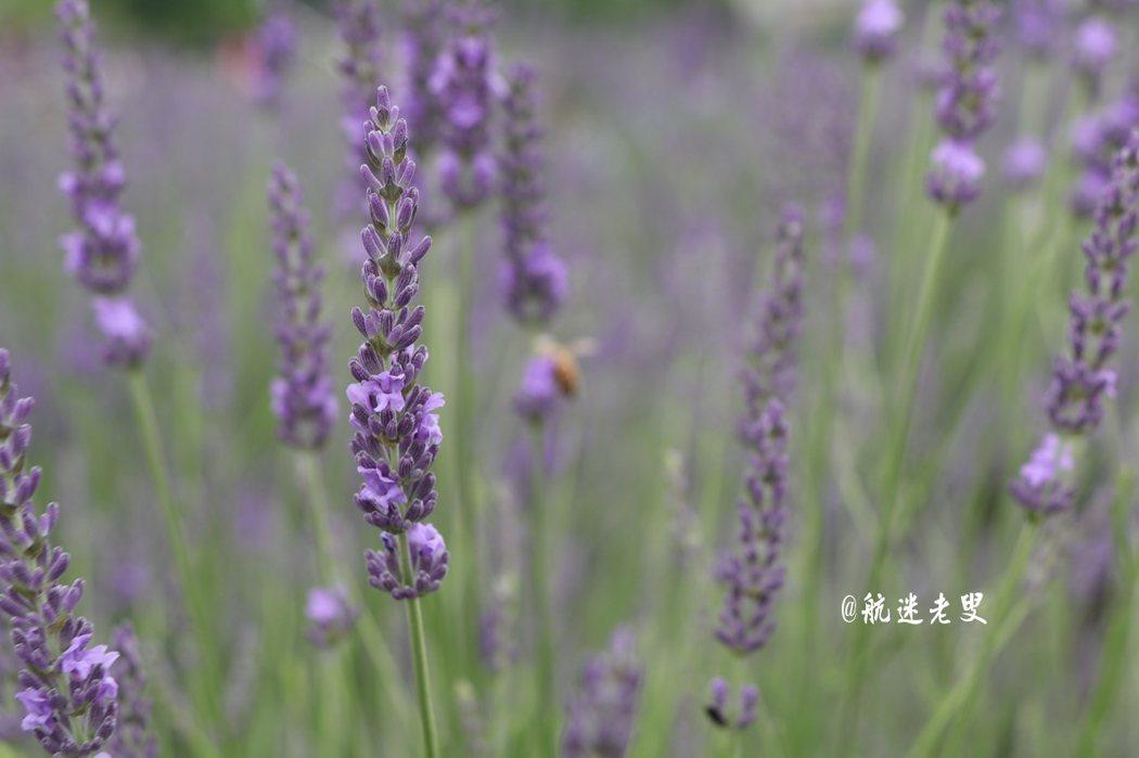 富士山河口湖每當花開風起時, 薰衣草的深紫色上下起伏著,甚是美麗。