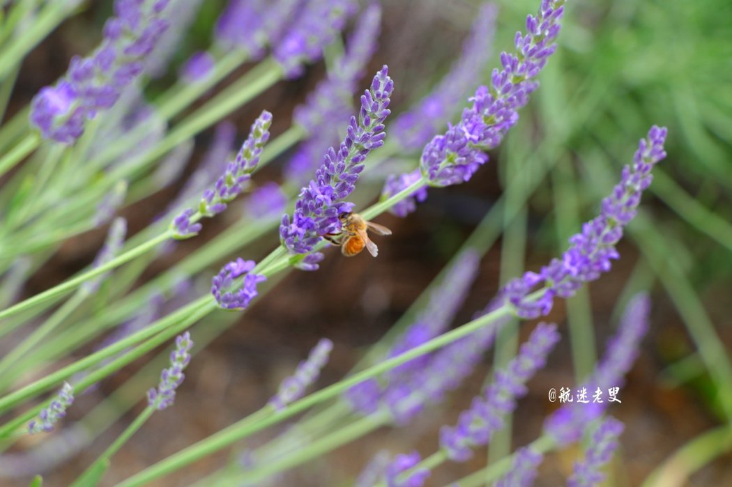 薰衣草,一抹夢幻的紫色,感受近在咫尺的情調, 給我帶來愉悅放鬆、釋放、尋找休憩的感受。
