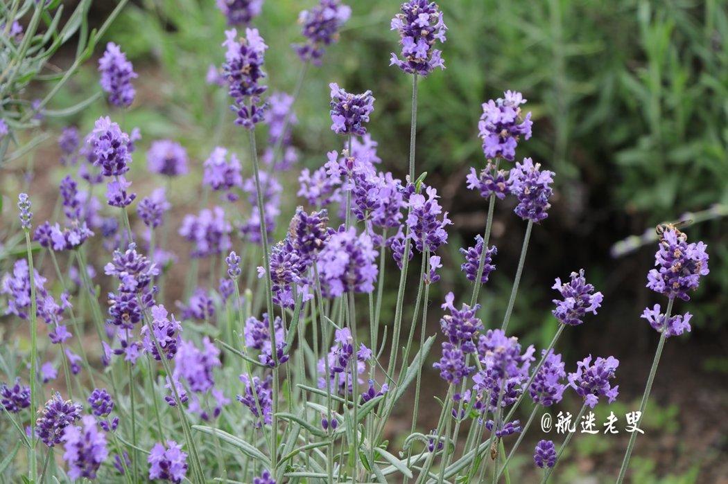 距離最近的薰衣草園,這裡的日照和氣候條件都很適合種植薰衣草,每年六月中旬薰衣草花開,漫步浪漫的紫色薰衣草園,這一切美的是那麼真實