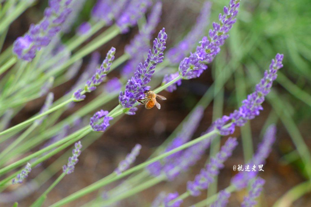 到薰衣草田周圍的顏色:在拍攝薰衣草田紫色是最常見的主題,當畫面中充滿紫色時,驚豔。