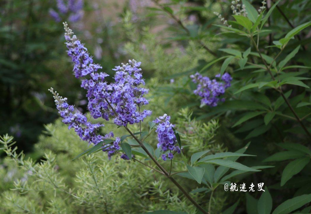 薰衣草,不張揚,不驚艷, 卻有一種低調的色彩,和散發著陣陣清香。