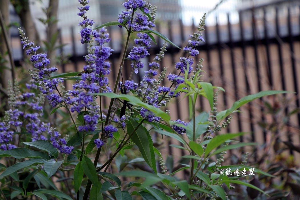 薰衣草很美,那微小的紫花, 靜靜的長蔓,隨風遙擺。