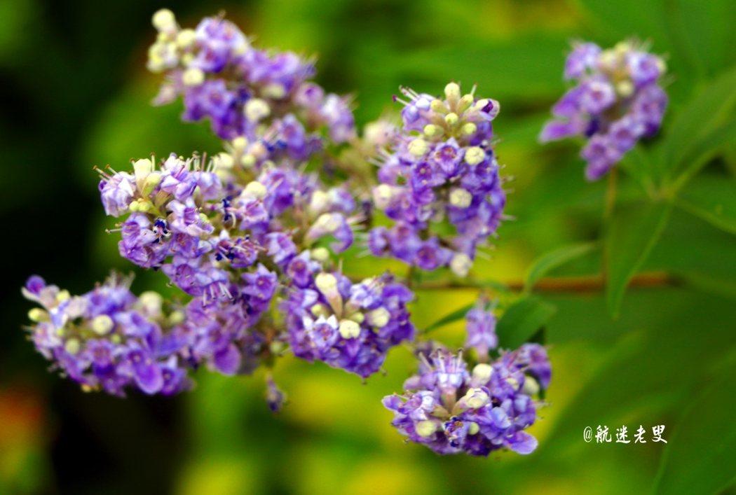 紫色的薰衣草,在住宅前搖曳生姿, 開花的季節,回歸自然,親近花草,放鬆休閑。