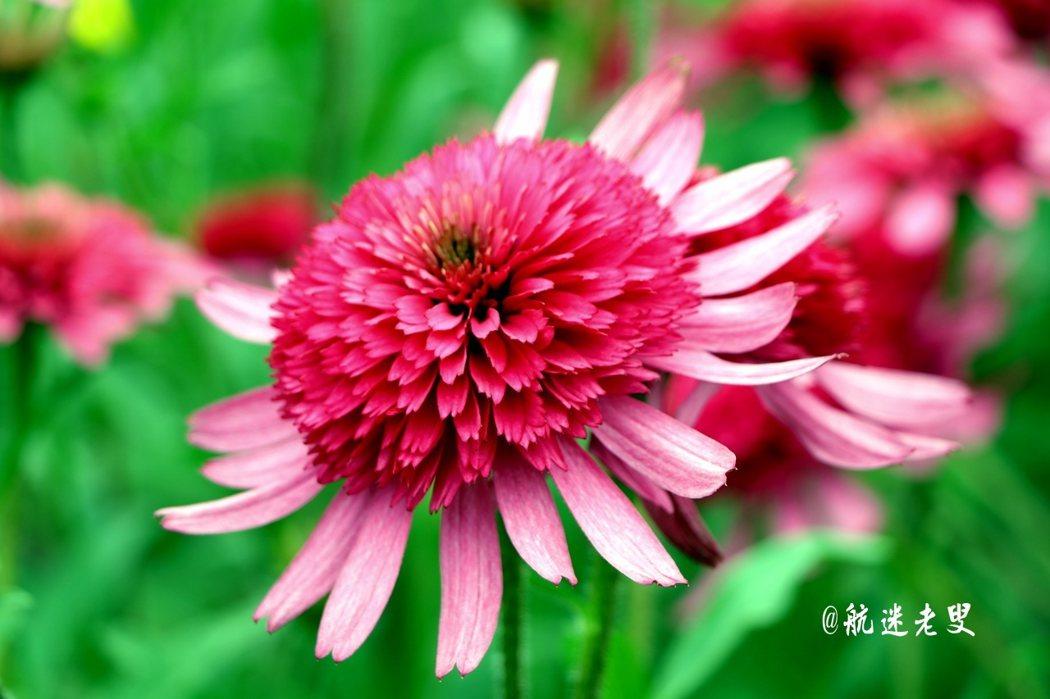 大理花像菊花在大自然中,它艷麗的色彩可一點都不遜色。欣賞花的美感,使生活更怡然自得。