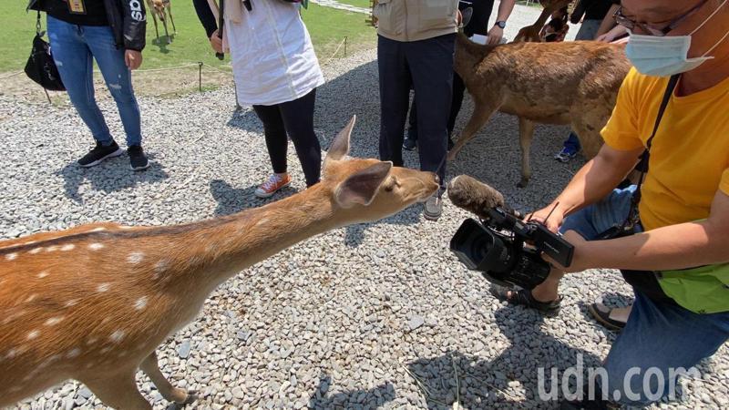 「斑比山丘」場內有梅花鹿與水鹿,開放讓遊客餵食,近距離互動,療癒性十足。記者羅建旺/攝影