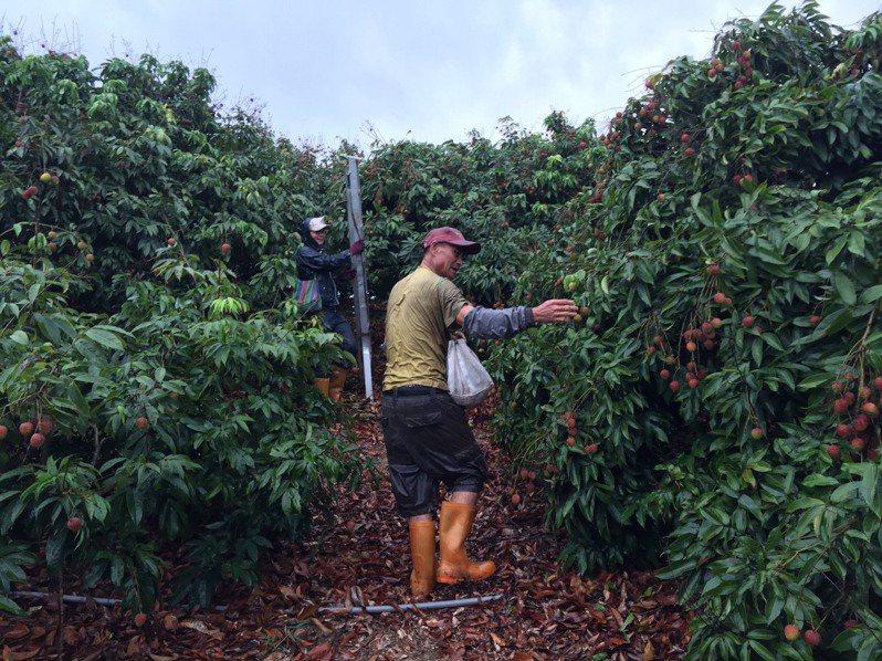 正值玉荷包產季,大樹農民在果園內冒雨採收作物。記者徐白櫻/攝影