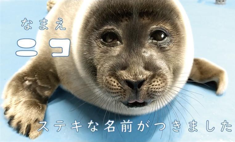 鳥語水族館新生的海豹寶寶取名為「微笑君」。圖擷自Twitter@TOBA_AQUARIUM