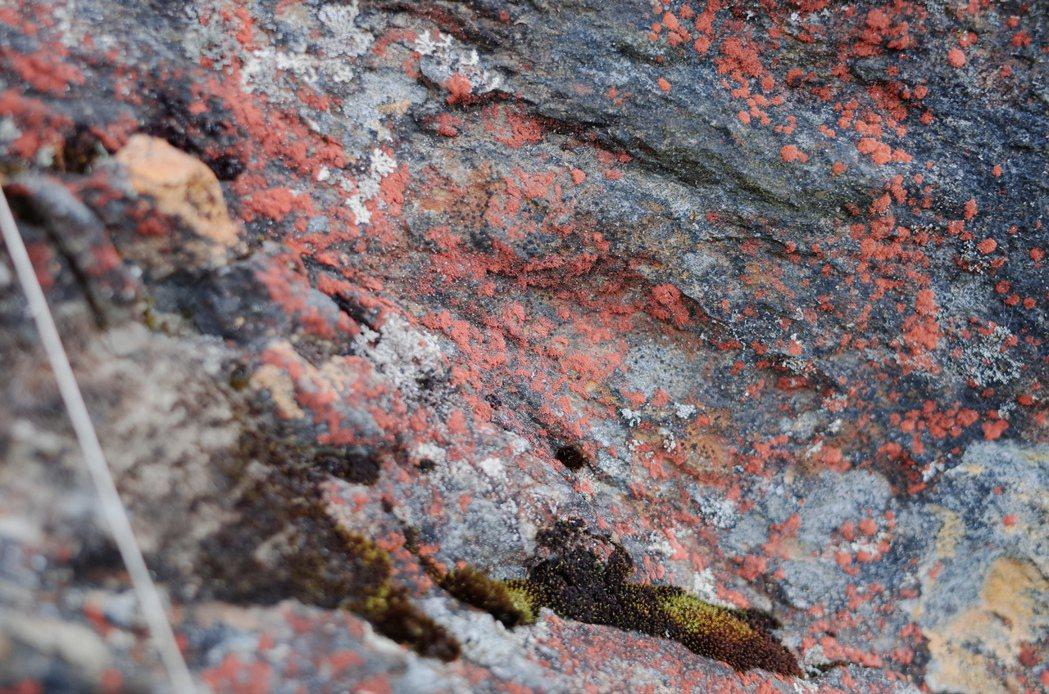 北大武山山區的地衣,像灑落的水彩顏料,顯現了山裡少見的紅色,而地衣很長壽,有些可...