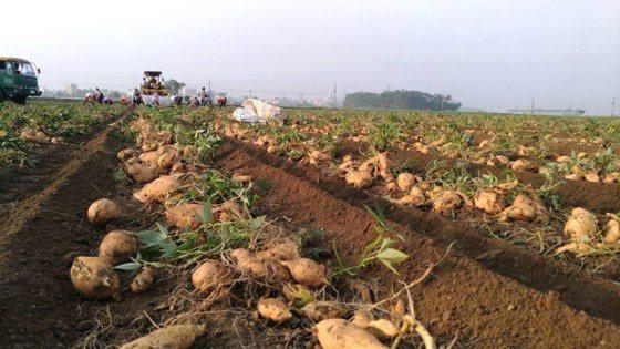金色大地契作地瓜採收,由於氣候適宜、地瓜地瓜品質良好、大豐收。 金色大地/提供