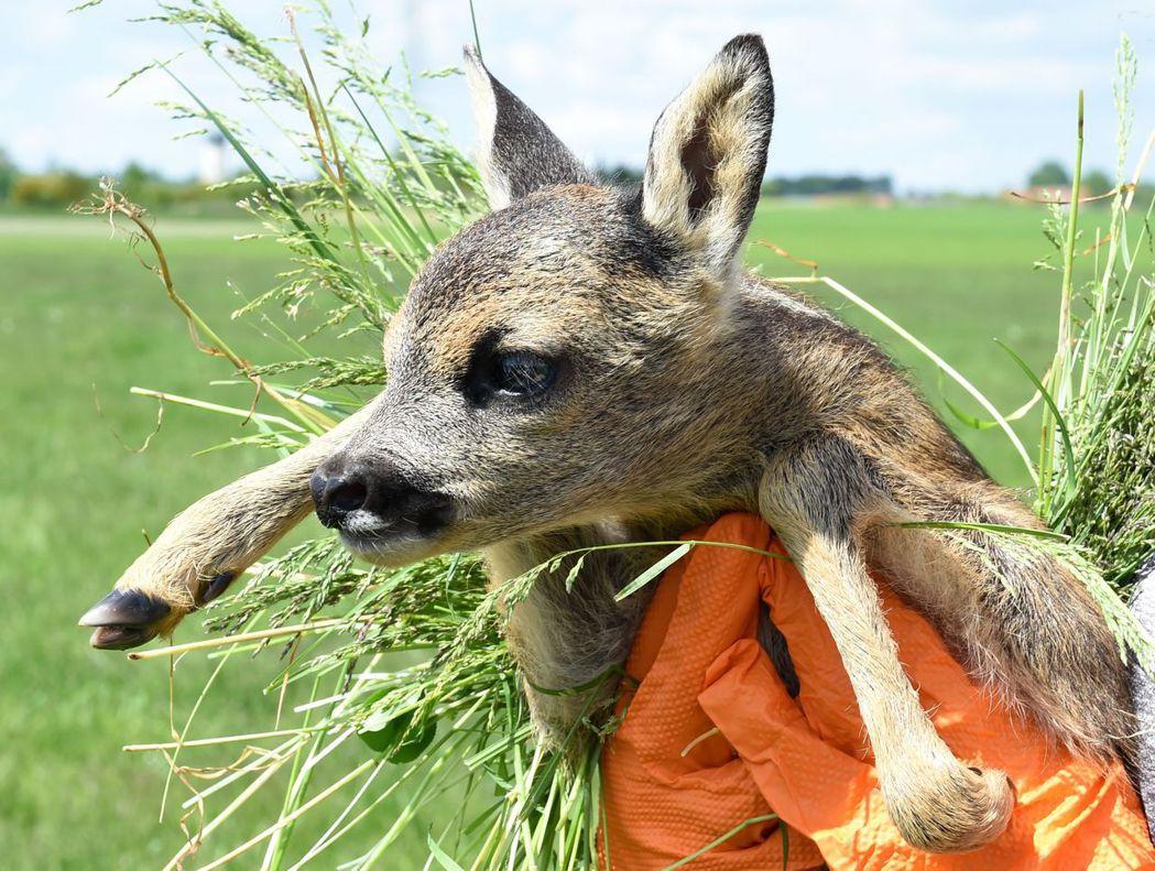 德國慕尼黑近郊的農人在鋤草前展開了田間搜索,小心尋找棲匿在田野中的小鹿。 圖/法...