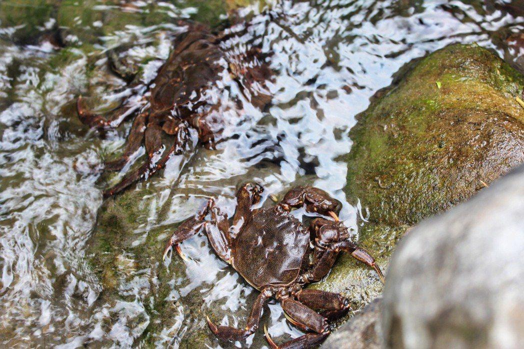棗稻田園區水質清澈、水體環境優,是河蟹們的「良居」。 棗稻田食農玩創空間/提供
