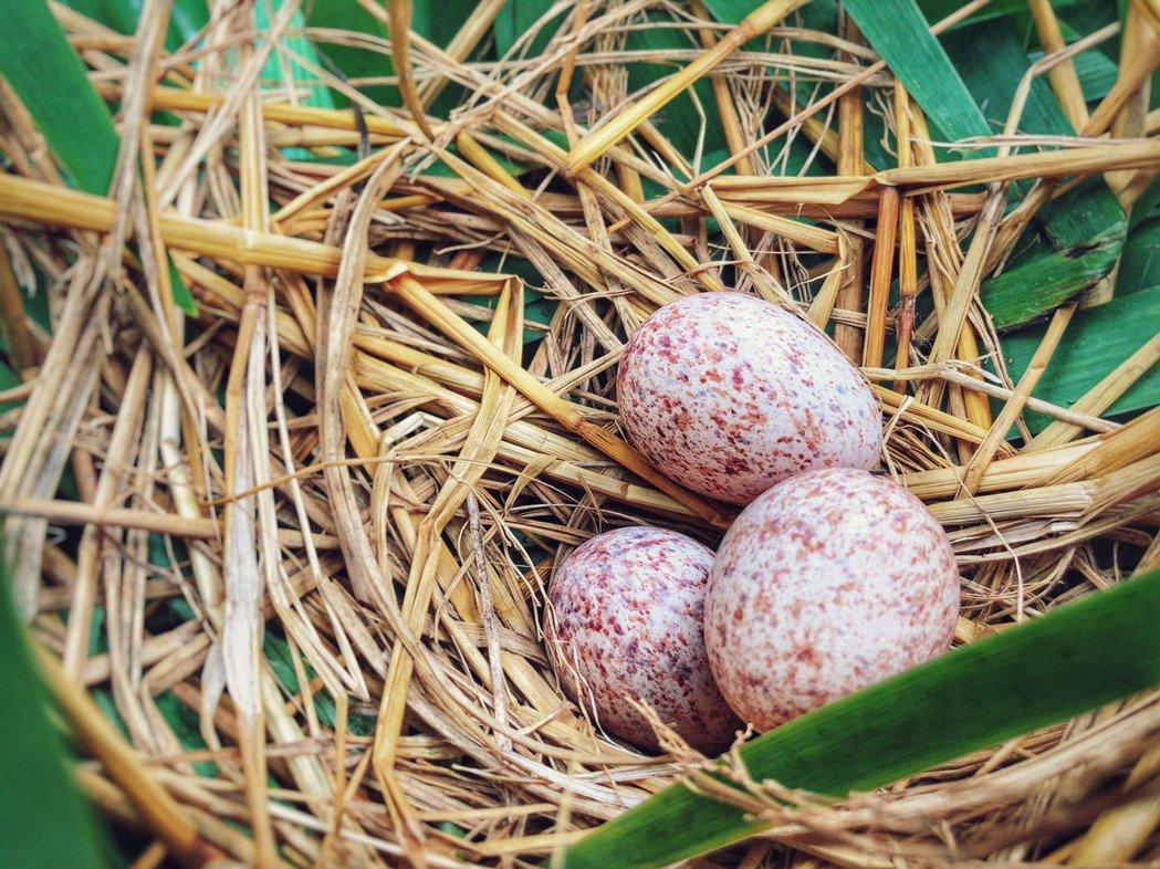 棗稻田優美的自然環境,已吸引紅冠水雞入住。 棗稻田食農玩創空間/提供