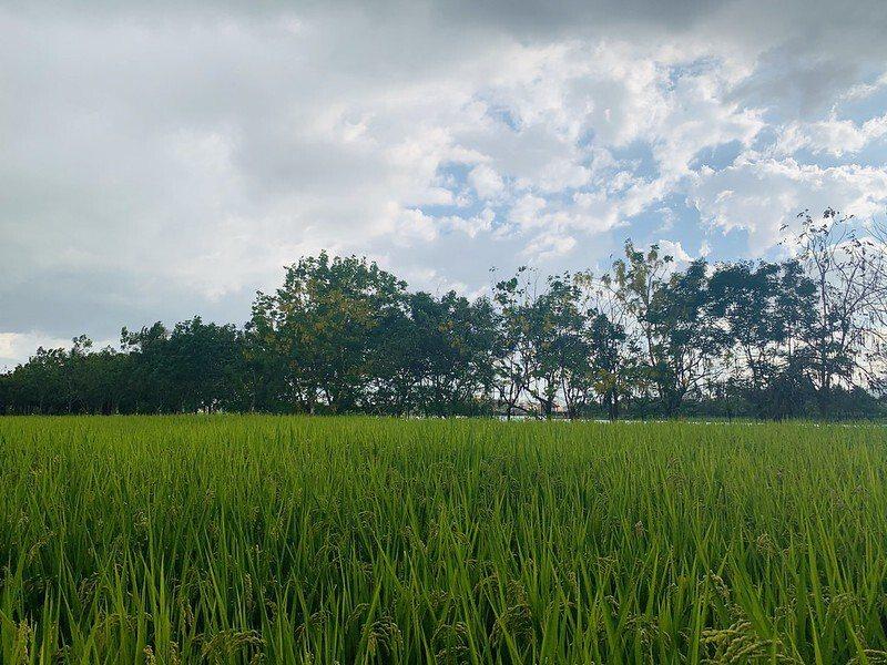 稻田旁的一整排阿勃勒,花開時若也是金黃稻浪成熟時,可以想見的漂亮。