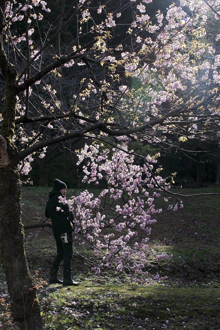 在金澤的「跟著花開去旅行」,幸運地找到被大雪壓斷的櫻花樹,完成了充滿生命力的作品...