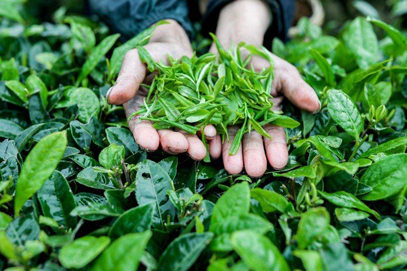 圖為貴州省黔東南苗族侗族自治州丹寨縣的「扶貧茶園」。新華社