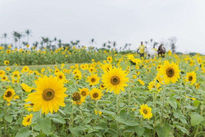 台開心農場種滿橘黃色向日葵花海,30日將開放免費採摘。圖/台開提供