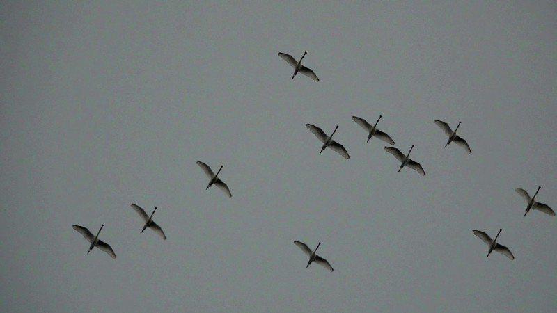 18隻黑面琵鷺象鼻岩、基隆盤旋,是基隆最大量的一次。圖/基隆鳥會常務理事沈錦豐提供