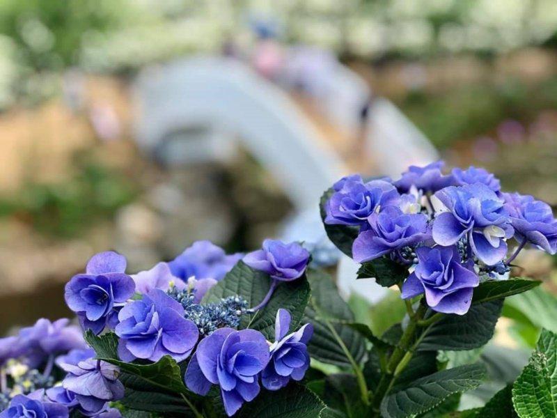 紫色的繡球花相當夢幻。 圖/讀者提供