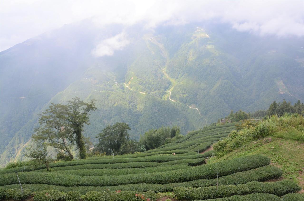 竹縣擴大茶園耕種 打出自有品牌