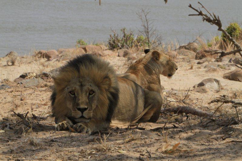 巴東動物園表示,因為受到疫情衝擊,觀光客驟減,已經做好最壞打算,如果糧食耗盡,將宰殺園區內的動物餵食其他食肉動物。 圖/ingimage
