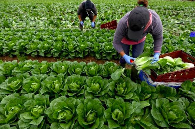 受疫情影響,原本仰賴海外短期勞工的英國農場現在嚴重缺工。路透