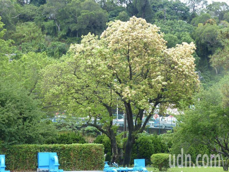 彰化市的自水來公司第11區管理處有個「後花園」裡,兩棵估計有6、70年歷史的台灣原生種魚木,其中的母株現已開滿了澄黃花朵,美不勝收。記者劉明岩/攝影
