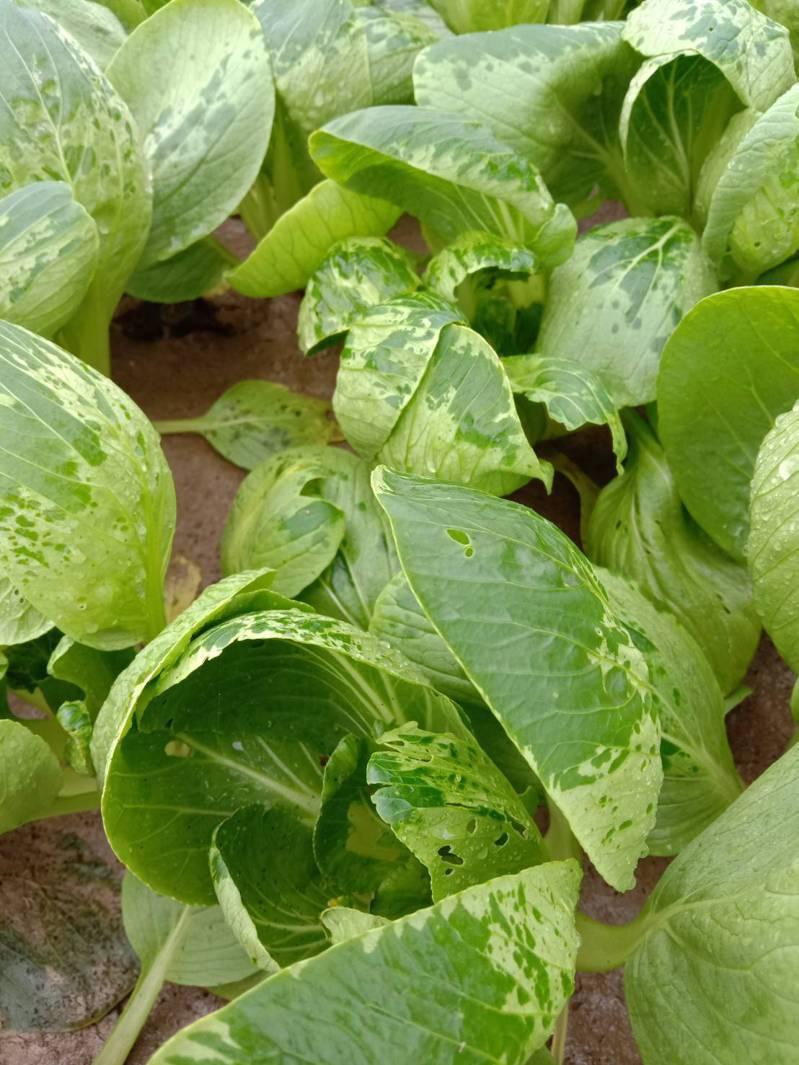 經大雨襲擊,高雄梓官蔬菜專區種植的葉菜,含水量增高,水傷嚴重。圖/農友提供