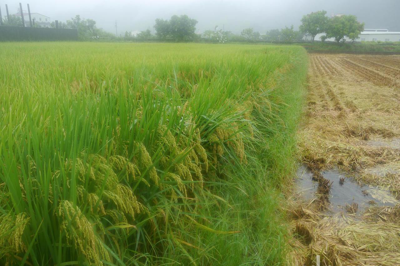 持續降雨稻米遭殃 農糧署啟動高屏「災害穀」收購