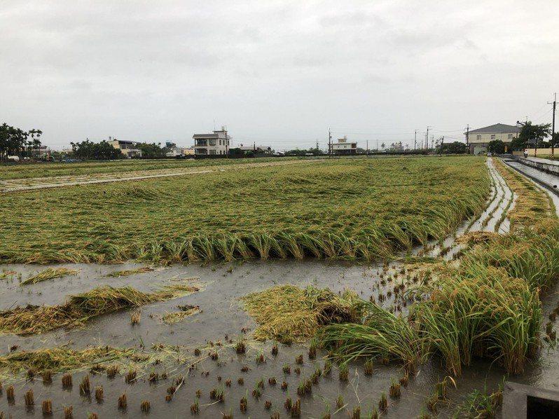 超大豪雨襲擊南台灣,農作物災損,屏東縣農業處指出,水稻影響最大,倒伏、浸水,農損逾800萬元。圖/屏東縣政府提供