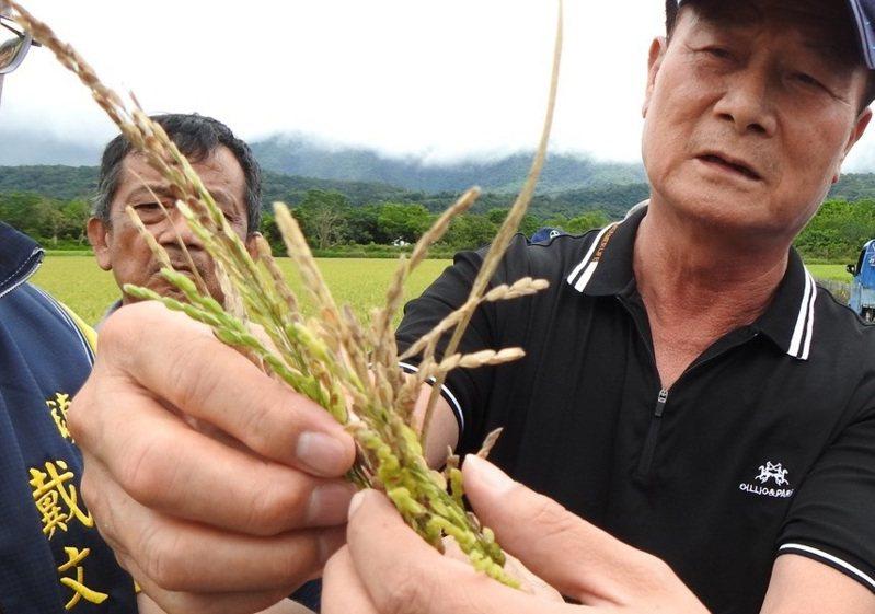 農民將受災的稻穗摘來,發現稻穗不稔實。圖/台東縣政府提供