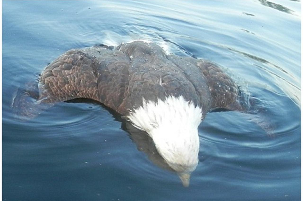 美國國鳥落難 想抓幼鳥反被利喙刺穿心臟而死